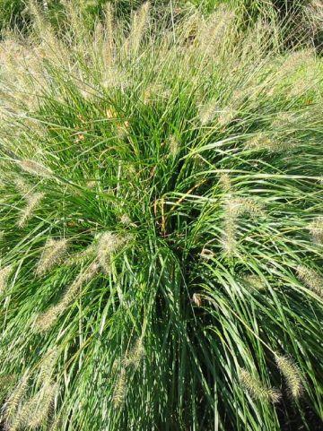 Pennisetum alopecuroides 'Gelbstiel' - Lampenpoetsersgras , Flesseborstelgras