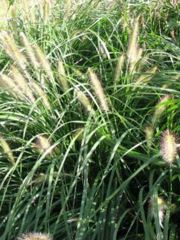 Pennisetum alopecuroides 'Hameln' - Lampenpoetsersgras , Flesseborstelgras