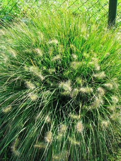 Pennisetum alopecuroides 'Little Bunny' - Lampenpoetsersgras