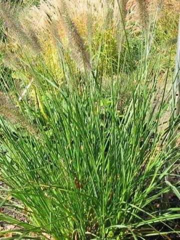 Pennisetum alopecuroides 'Magic' - Lampenpoetsersgras