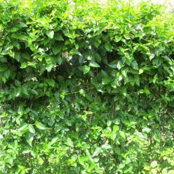 Periploca graeca  - Melkwingerd