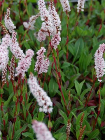 Persicaria affinis  - Duizendknoop