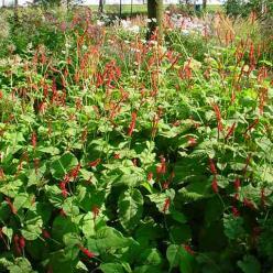 Persicaria amplexicaulis 'Firedance' - Duizendknoop