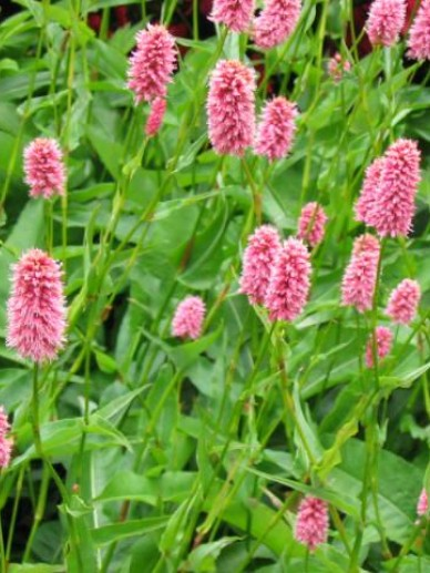 Persicaria macrophylla  - Duizendknoop