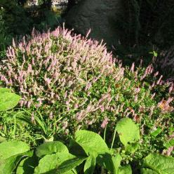 Persicaria vacciniifolia  -