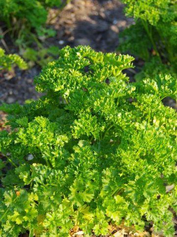 Petroselinum crispum  - Peterelie , Krulpeterselie