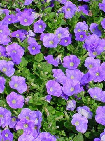 Petunia  'Sky Blue' (='Keilavbu') - Hangpetunia , Surfinia