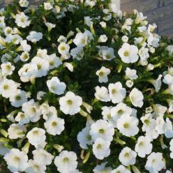 Petunia multiflora  - Petunia