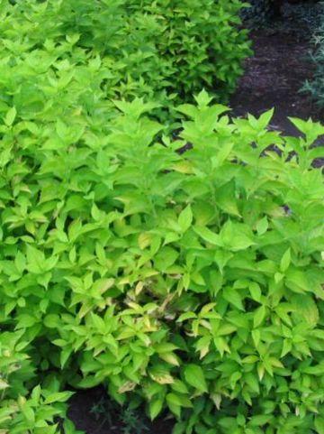 Philadelphus coronarius 'Aureus' - Geelbladige boerenjasmijn