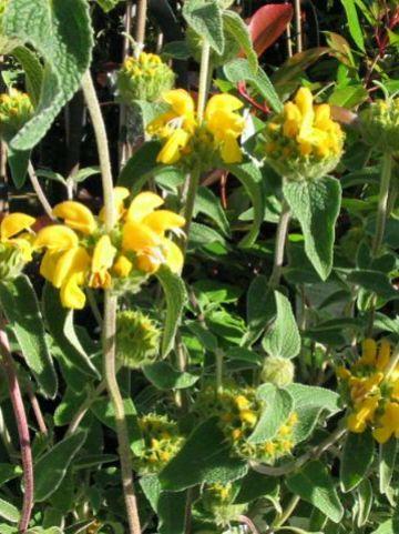 Phlomis fruticosa - Brandkruid, etagebloem