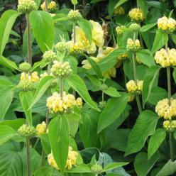 Phlomis russeliana - Brandkruid, etagebloem