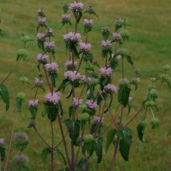 Phlomis tuberosa 'Amazone' - Brandkruid
