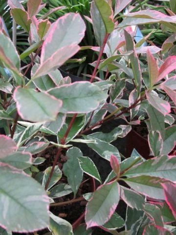 Photinia × fraseri 'Pink Marble' (='Cassini') - Glansmispel