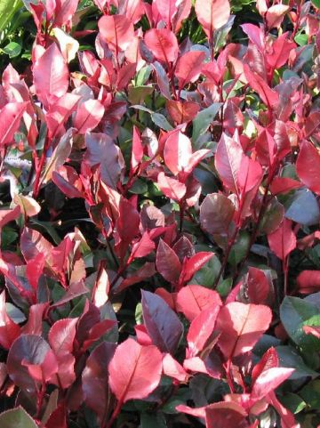 Photinia  x fraseri 'Little Red Robin' - Glansmispel