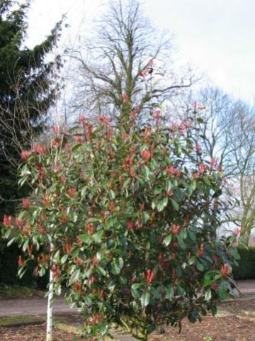 Photinia fraseri 'Red Robin' - Glansmispel