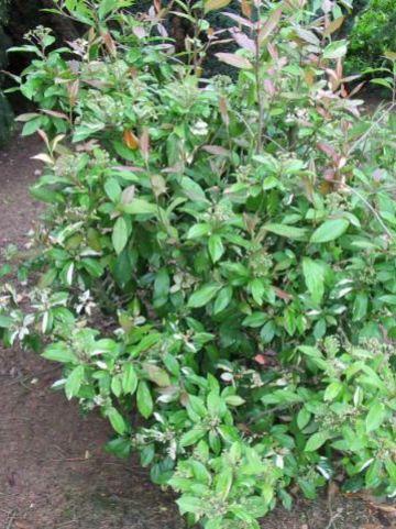 Photinia davidiana 'Palette' - Glansmispel