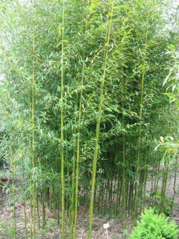 Phyllostachys aureosulcata  - Bamboe