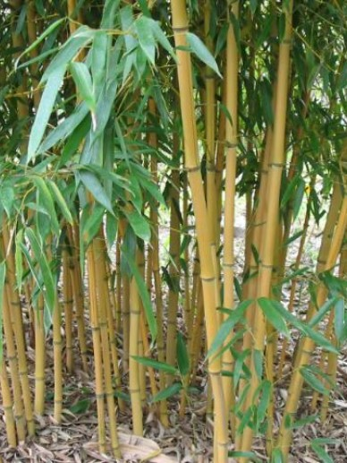 Phyllostachys aureosulcata 'Aureocaulis' - Bamboe