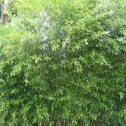Phyllostachys bissetii (haagbamboe)