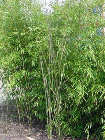 Phyllostachys humilis  - Bamboe