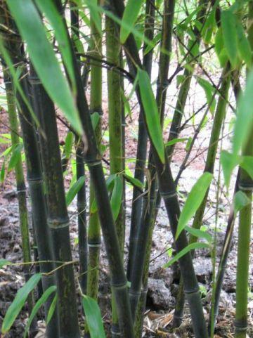Phyllostachys nigra - Zwarte bamboe