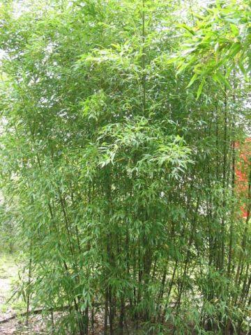 Phyllostachys nigra 'Boryana' - Bamboe