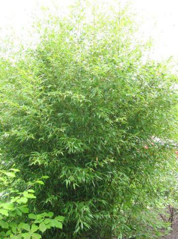 Phyllostachys nigra 'Henonis' - Zwarte bamboe