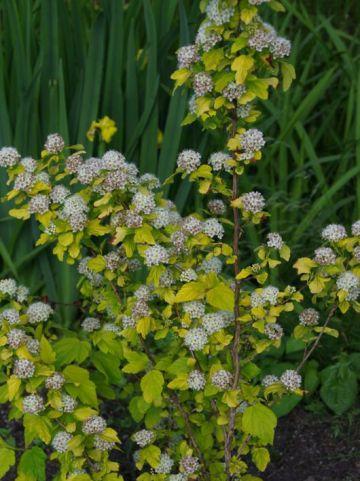Physocarpus opulifolius 'Dart's Gold' - Geelbladige blaasspirea