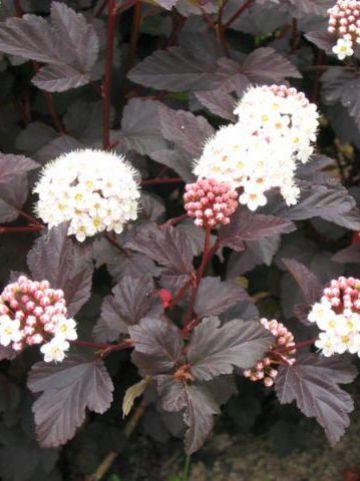 Physocarpus opulifolius 'Diabolo' - Blaasspirea