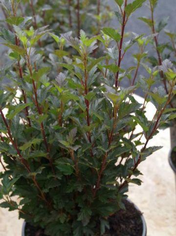 Physocarpus opulifolius 'Tiny Wine' (='SMPOTW') - Roodbladige blaasspirea