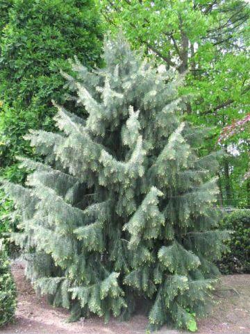 Picea breweriana  - Treurende spar