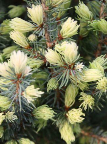 Picea glauca 'Sun on the Sky' - Dwergspar