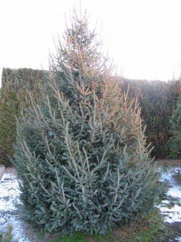 Picea likiangensis var. rubescens  - Spar