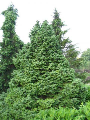 Picea omorika 'Nana' - Dwerg Servische spar