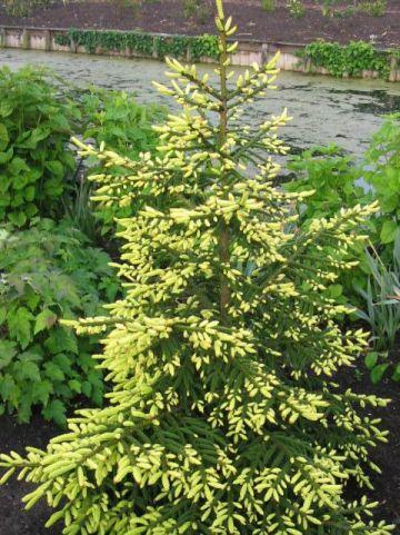 Picea orientalis 'Aureospicata' - Bonte kaukasische spar