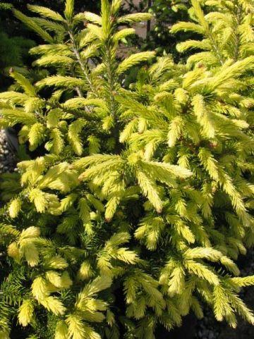 Picea orientalis 'Golden Start' - Bonte kaukasische spar