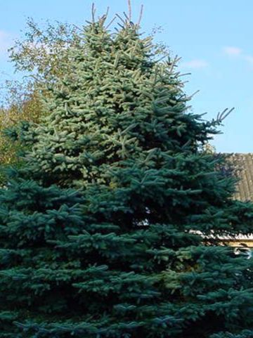 Picea pungens 'Koster' - Blauwspar