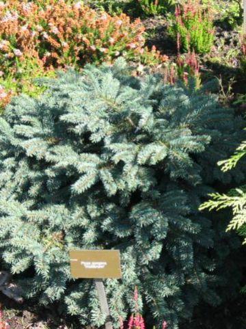 Picea pungens 'Waldbrunn' - Dwergspar