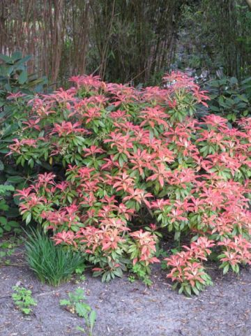 Pieris  'Forest Flame' - Rotsheide