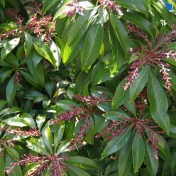 Pieris japonica 'Katsura' - Rotsheide