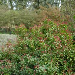 Pieris japonica 'Little Heath Green' - Rotsheide