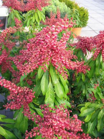 Pieris japonica 'Passion' - Rotsheide