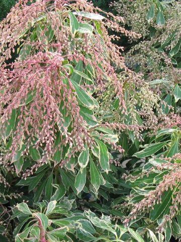 Pieris japonica 'Ralto' - Rotsheide
