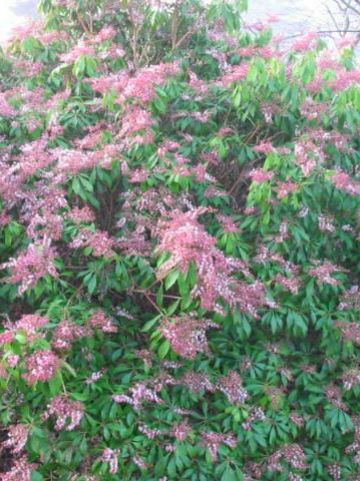 Pieris japonica 'Valley Rose' - Rotsheide
