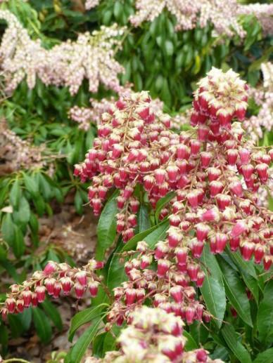 Pieris japonica 'Valley Valentine' - Rotsheide