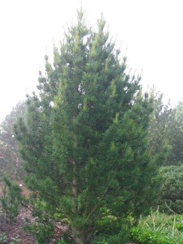 Pinus cembra  - Alpenden