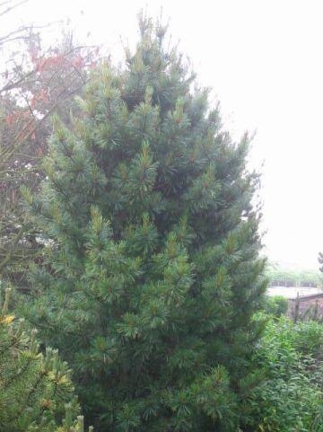 Pinus cembra 'Compacta Glauca' - Alpenden