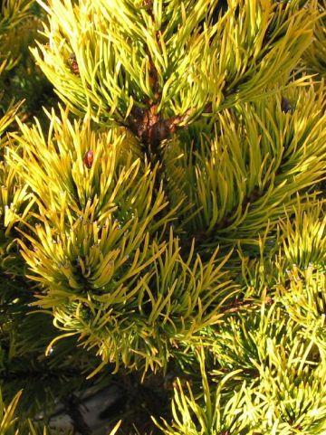 Pinus mugo 'Carsten' - Dwergbergden