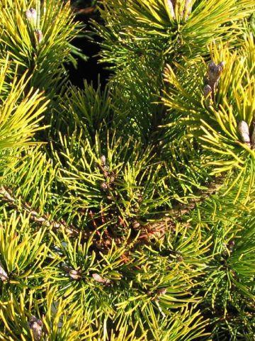 Pinus mugo 'Ophir' - Pijnboom, dwergden