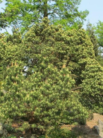 Pinus mugo var. mughus - Pijnboom, dwergden
